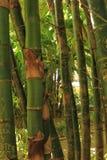 zieleni bambusów bagażniki Fotografia Stock
