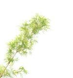 Zieleni bambusów liście na białym tle Fotografia Royalty Free