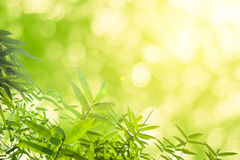 Zieleni bambusów liście z tłem lub Zielenieje energię Fotografia Royalty Free