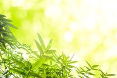 Zieleni bambusów liście z tłem lub Zielenieje energię Obraz Stock