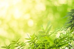 Zieleni bambusów liście z tłem lub Zielenieje energię Zdjęcia Stock
