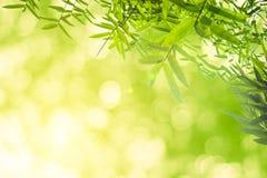 Zieleni bambusów liście z tłem lub Zielenieje energię Zdjęcia Royalty Free