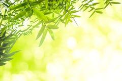 Zieleni bambusów liście z tłem lub Zielenieje energię Obrazy Stock
