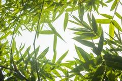 Zieleni bambusów liście z tłem lub Zielenieje energię Zdjęcie Royalty Free