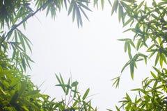 Zieleni bambusów liście z tłem lub Zielenieje energię Obrazy Royalty Free