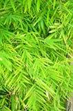 Zieleni bambusów liście Zdjęcia Stock