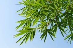 zieleni bambusów liście i niebieskie niebo Obraz Stock