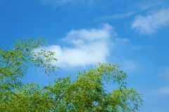 Zieleni bambusów liście na niebieskiego nieba tle Zdjęcie Stock