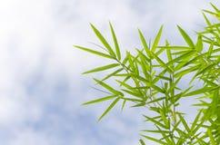 Zieleni bambusów liście z kroplami woda Obrazy Royalty Free