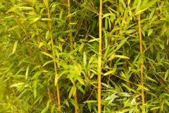 zieleni bambusów trzony Fotografia Royalty Free