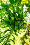Zieleni banany Obraz Royalty Free