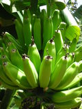 Zieleni banany Zdjęcie Stock
