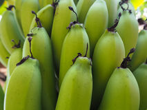 Zieleni banany Fotografia Royalty Free