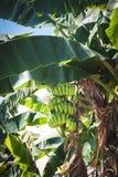 Zieleni banany r na ulicach Pattaya, Tajlandia obrazy stock