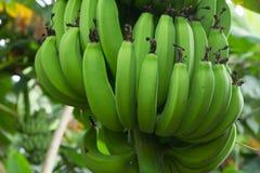 Zieleni banany Wiesza na Bananowym drzewie Fotografia Royalty Free