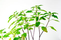 Zieleni basilów liście zdjęcia stock