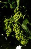 Zieleni bautiful winogrona Zdjęcia Stock