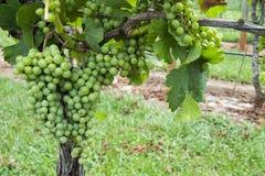 Zieleni biali winogrona na winogradzie Zdjęcia Royalty Free