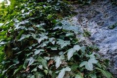 Zieleni bluszczy liście przekręcają szarości skałę zdjęcie stock