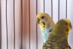 Zieleni budgies w birdcage dom papugi Śmieszna nierozłączka obrazy royalty free