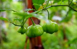 Zieleni Capsicums R w pikantności plantaci - Dzwonkowi pieprze - Obraz Royalty Free