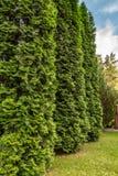 Zieleni cyprysowi drzewa w ogródzie obraz royalty free