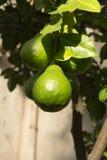 Zieleni cytrusy r na drzewie, zdjęcie royalty free