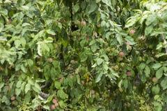 Zieleni czerwoni jabłka r na gałąź na drzewie, wiele owoc Fotografia Royalty Free