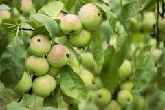 Zieleni czerwoni jabłka r na gałąź na drzewie, wiele owoc Obrazy Royalty Free