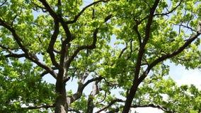 Zieleni dębów liście na drzewie Zielony ulistnienie na drzewie w lecie zbiory wideo