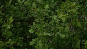 Zieleni dębów liście na drzewie Zielony ulistnienie na drzewie w summe zbiory