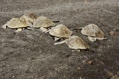 Zieleni denni żółwie Fotografia Royalty Free