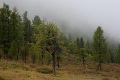 Zieleni drzewa w mgle Zdjęcia Royalty Free