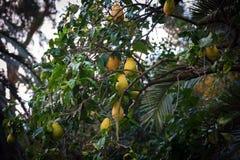 Zieleni drzewa z żółtymi cytrynami obrazy stock