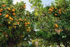 Zieleni drzewa z pomara?czami przy Riomaggiore miasteczkiem, Cinque Terre, W?ochy zdjęcia stock