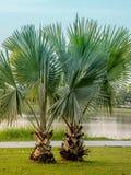 Zieleni drzewka palmowe blisko jeziora w miasto parku Obrazy Stock