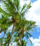 Zieleni drzewka palmowe pod błękitnym Karaibskim niebem Zdjęcia Stock