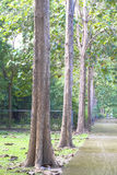 Zieleni Duzi drzewa i przejście Obrazy Stock