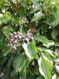 Zieleni dzicy drzewo liście z owoc fotografia stock