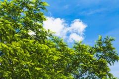 Zieleni gałąź akacja przeciw niebieskiemu niebu zdjęcia royalty free