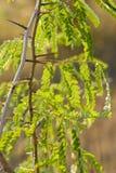 Zieleni gałąź akacja w wieczór fotografia royalty free