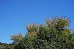 ZIELENI gałąź I liście drzewo PRZECIW niebieskiemu niebu Fotografia Royalty Free