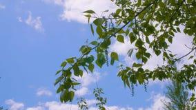 Zieleni gałąź i ulistnienie topolowy drzewo w lato parku na niebieskie niebo krajobrazie zbiory