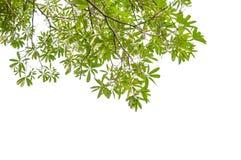 Zieleni gałąź liść i zdjęcia royalty free