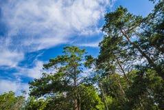 Zieleni gałąź sosna przeciw niebieskiemu niebu zdjęcie royalty free