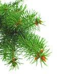 zieleni gałęziasta świerczyna Fotografia Royalty Free