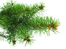 zieleni gałęziasta świerczyna Fotografia Stock