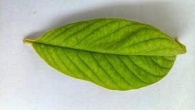 Zieleni guava liście na białym tle zdjęcia royalty free