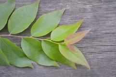 zieleni gwiazdowi agrestów liście Zdjęcia Royalty Free