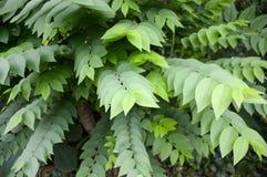 Zieleni Gwiazdowi Agrestowi liście w natura ogródzie Zdjęcie Royalty Free